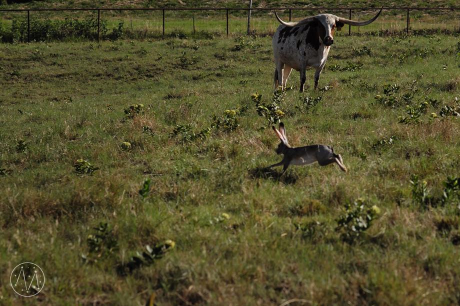 Texas Longhorn ranch family documentary in Celina TX (8)