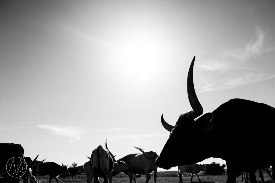 Texas Longhorn ranch family documentary in Celina TX (13)